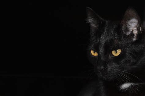 wallpaper dan cat free photo cat black background cat eyes free image