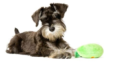 miniature schnauzer dog breed miniature schnauzer234 jpg miniature schnauzer dog breeds