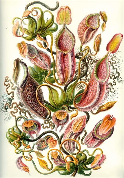 the and science of ernst haeckel multilingual edition books file haeckel nepenthaceae jpg wikimedia commons
