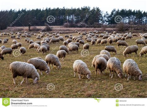 how to a to herd sheep herd of sheep in bavaria stock photography image 38555232