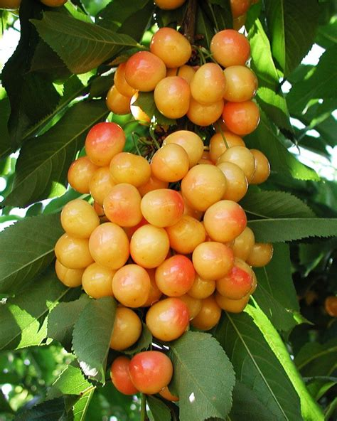 cherry tree near me the 25 best cherry plant ideas on blossoms planting cherry trees and cherry
