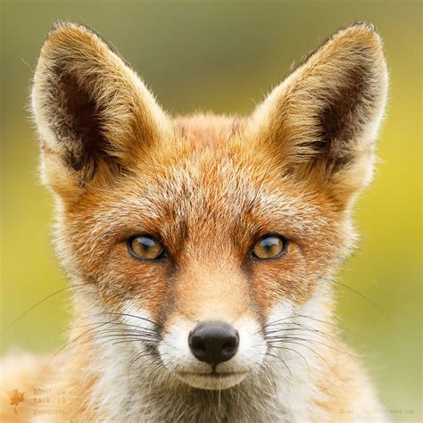 The Foxes faces of foxes photographer proves that every fox has