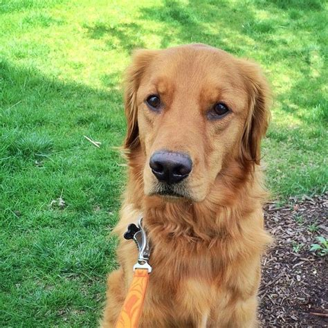 buzzed golden retriever these 12 adorable golden retrievers will make you a better