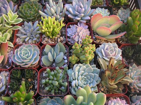 a collection of 12 succulent plants great for terrarium