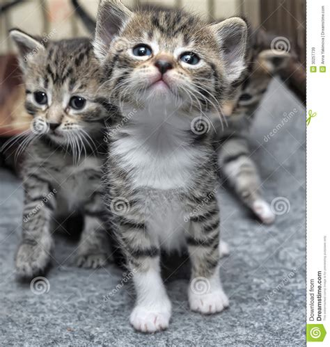 Small striped kittens stock image. Image of blue, doze