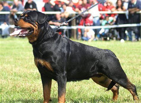 are rottweilers hypoallergenic rottweiler breed info breeders and puppies for sale pawbase