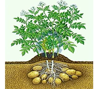 stems and foliage of a potato plant more knowledge about potato chili processing machinery