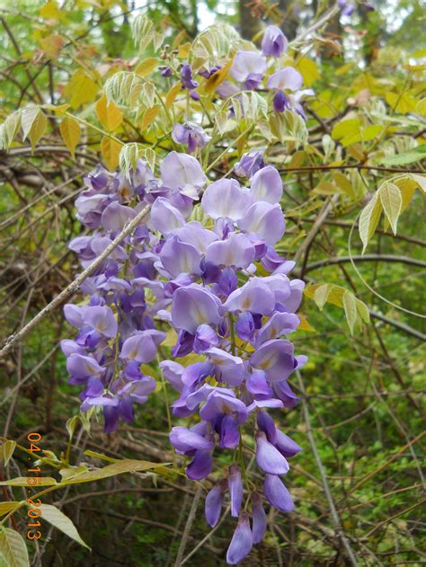 wisteria growing conditions 28 images purple wisteria tree for sale brighter blooms