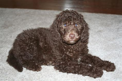 mud puppies for sale labradoodle puppies for sale labradoodle breeder bad companys labradoodles