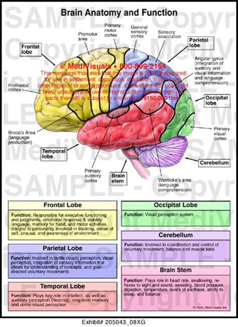 brain sections and their functions brain anatomy and function medical illustration medivisuals