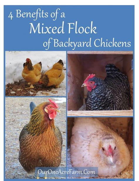 4 Benefits Of A Mixed Flock Of Backyard Chickens Benefits Of Backyard Chickens