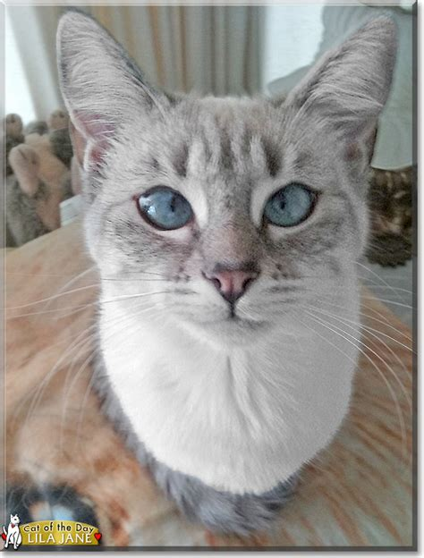 ragdoll mix lila siamese ragdoll mix april 10 2016
