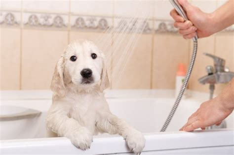 how often to bathe puppy how often should you bathe a puppy cleaner paws