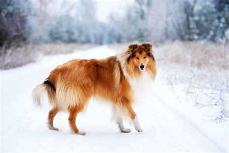 collie dogs collie breed health history appearance temperament and maintenance