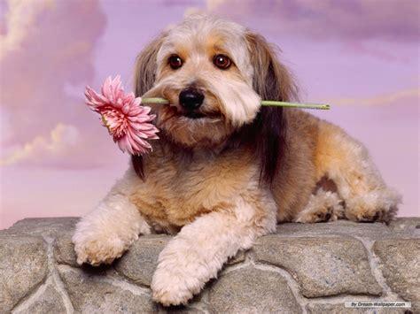 wallpaper dogs toy dog wallpaper dogs wallpaper 7014259 fanpop