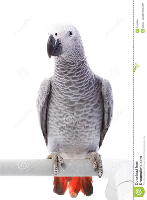 african gray parrot clipart   cliparts