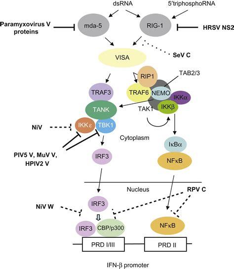 v protein paramyxovirus paramyxoviridae and pneumoviridae veterian key