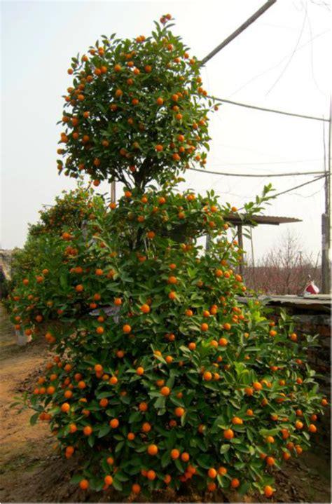 kumquat trees new year kumquat tree for new year 28 images tet lunar new year