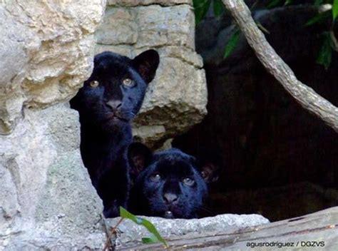 imágenes jaguar negro cr 237 as de jaguar negro necesitan nombre y tu puedes elegirlo