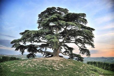 descrizione di un giardino cedro libano cedrus libani alberi