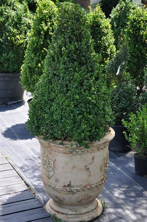 Boxwoods In Planters by Great Looking Boxwood Garden Ideas