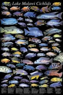 cichlids on pinterest african cichlids plecostomus and