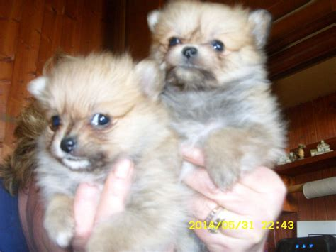 chihuahua and pomeranian mix puppies for sale papillon x chihuahua x pomeranian puppies turriff aberdeenshire pets4homes