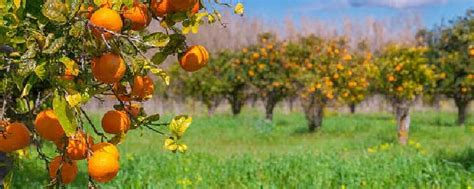 Bibit Alpukat Fuerte info tanaman buah