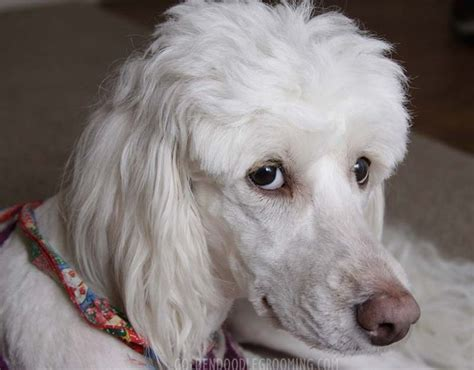 pictures of different poodle haircuts 17 best ideas about goldendoodle haircuts on pinterest