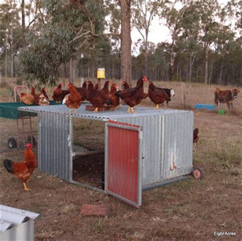 what breed of should i get backyard chickens and chicken tractors what breed of chicken should i get