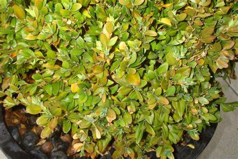 Rhododendron Braune Bl Tter 3766 by Pin Gelbe On