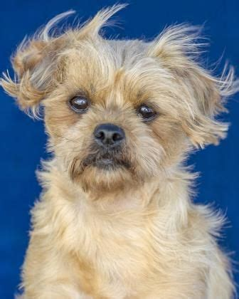 shih tzu breeders colorado springs best 25 shih tzu rescue ideas on boxer quotes my and shih tzu