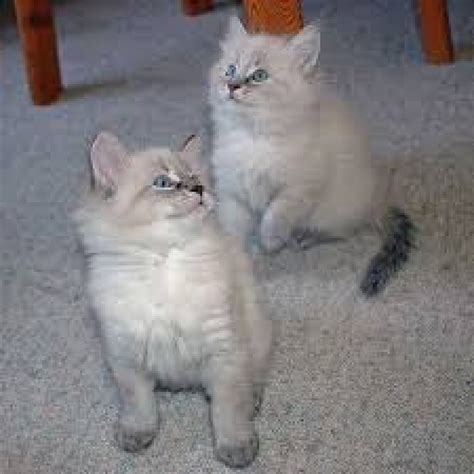 free adoption healthy siberian kittens for free adoption offer