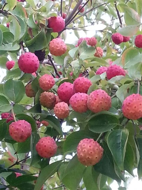 dogwood tree fruit edible korean dogwood cornus kousa those are edible berries and
