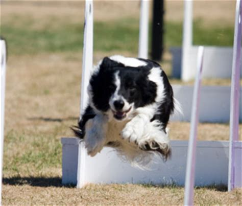 how to your for flyball flyball for dogs what to before getting started
