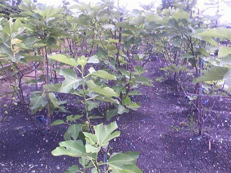 Bibit Pohon Tin budidaya tanaman pohon buah tin di indonesia budidaya