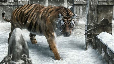 new year animal tiger new year animals snow tigers wallpaper allwallpaper in