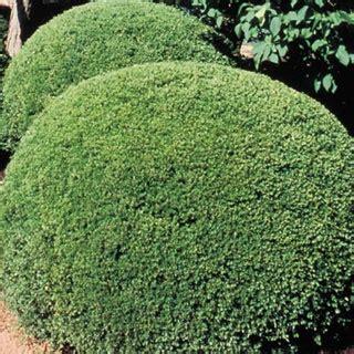 1000 ideas about boxwood shrub on pinterest boxwood hedge winter gem boxwood and landscaping