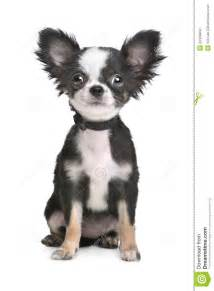 hair chihuahua hair growth what to expect long haired chihuahua puppy royalty free stock image