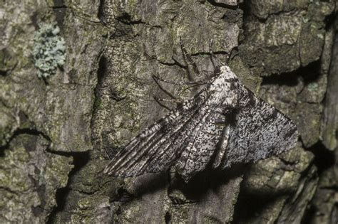 Peppered Moth the mistery of the peppered moth