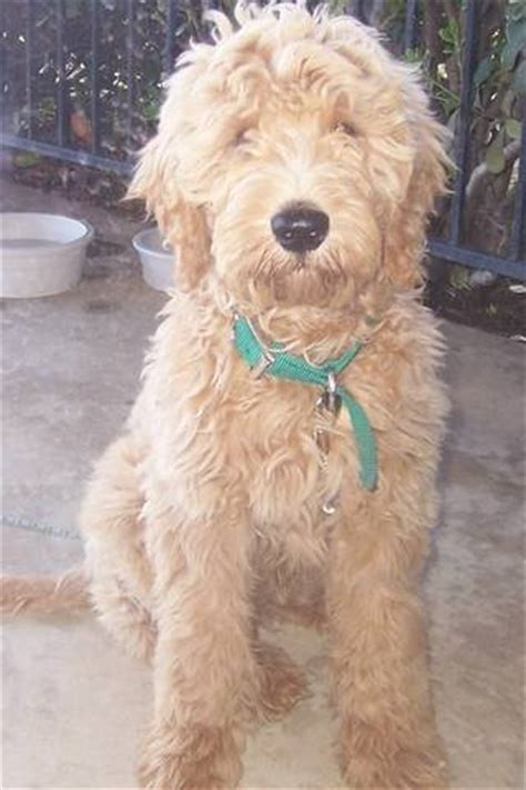 goldendoodle puppy rescue goldendoodle adoption michigan breeds picture