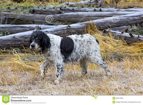 setter bird dog very old llewellin setter bird dog in field royalty free