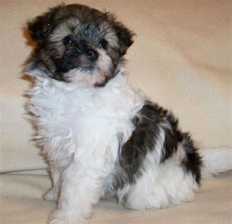 pomapoo puppies for sale pomapoo puppies for sale coalville leicestershire pets4homes