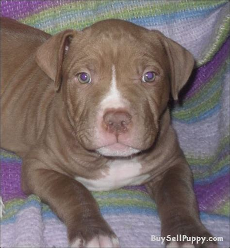 buy pitbull puppies american nose pitbull puppies breeds picture
