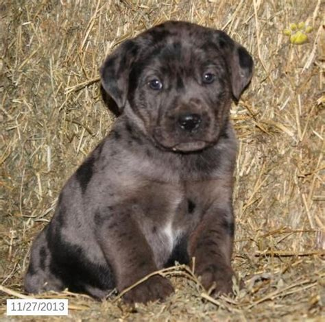 boxador puppies for sale 17 best images about i want a boxador on