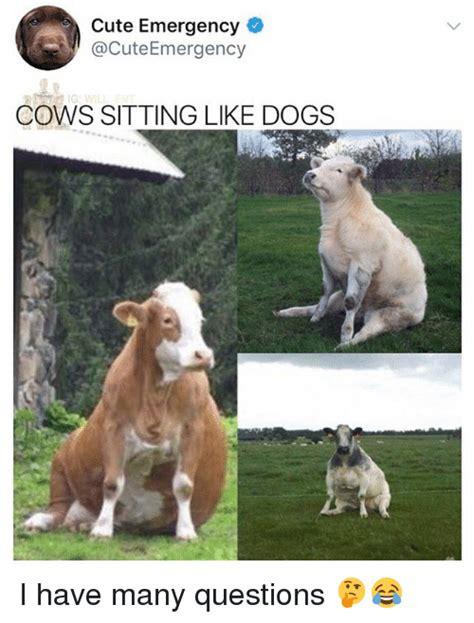 i like dogs emergency cows sitting like dogs i many questions meme on me me