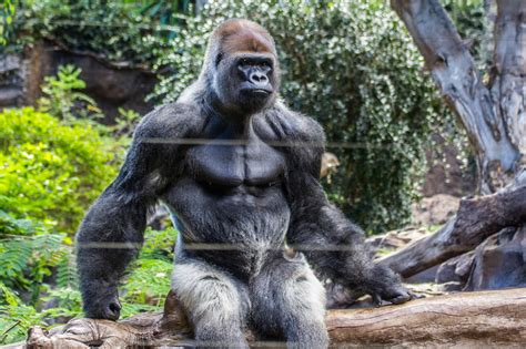 how much can a gorilla bench just not said august 2015