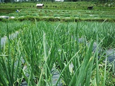 Bibit Bawang Merah Organik budidaya tanaman bawang merah klinik pertanian organik