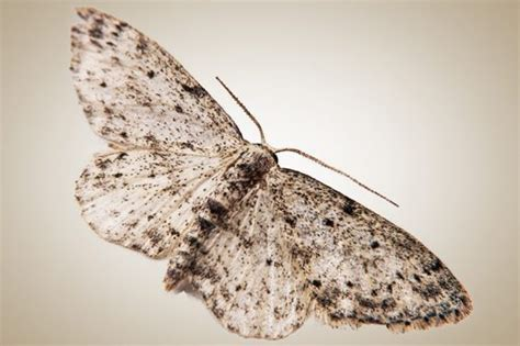 Moth Infestation Pantry by Pantry Moths Moth Larvae Active Pest Management