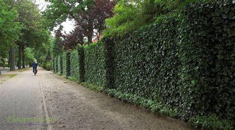 menanam english ivy  pagar  dinding rumah